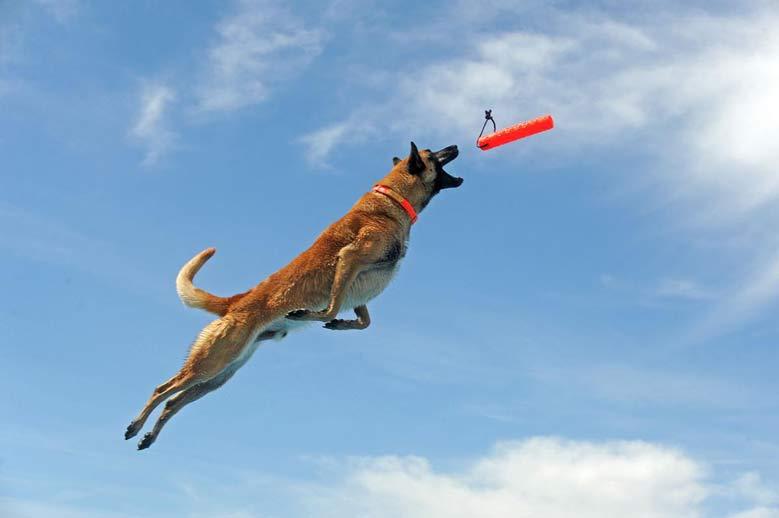 آموزش و تربیت سگ مالینویز