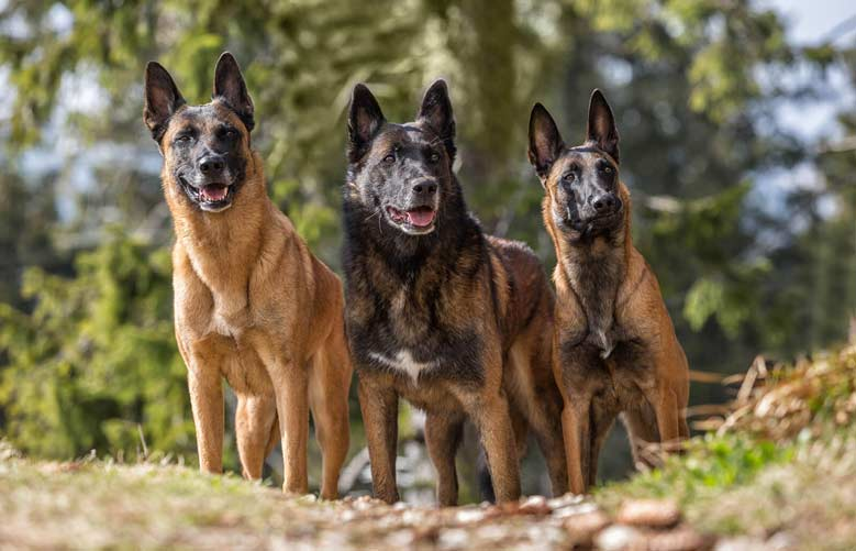 انواع سگ مالینویز