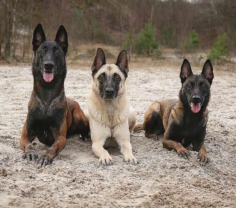 سگ چوپان بلژیکی