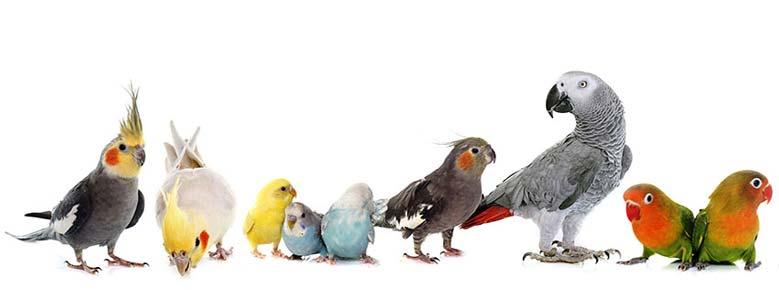 اسم برای پرندگان ماده فنچ طوطی کاکادو کاسکو