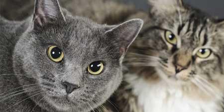 گربه مو بلند گربه مو کوتاه