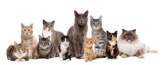 گربه نر یا گربه ماده