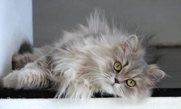 گربه پرشین عکس