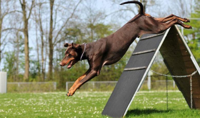 آموزش سگ دوبرمن