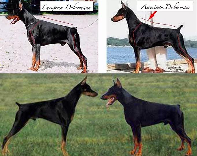 مقایسه دوبرمن آلمانی و آمریکایی