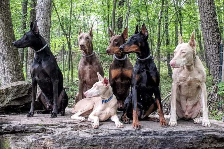 رنگ های سگ دوبرمن