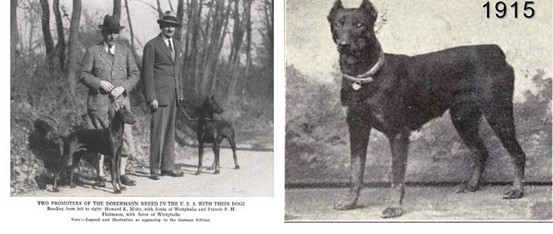 تاریخ نژاد سگ دوبرمن