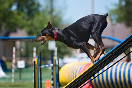 تربیت و آموزش سگ دوبرمن