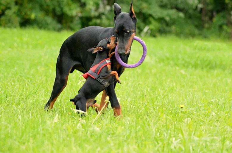 بازی سگ دوبرمن
