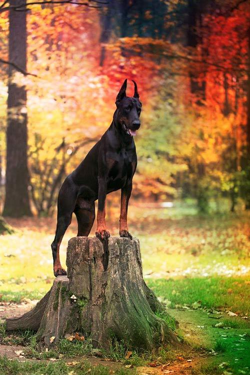 تنهایی سگ دوبرمن