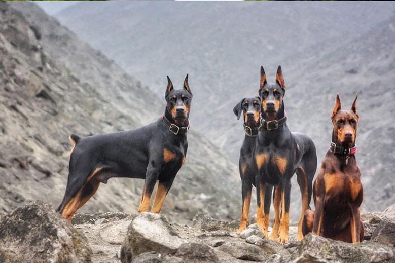 سگ های دوبرمن