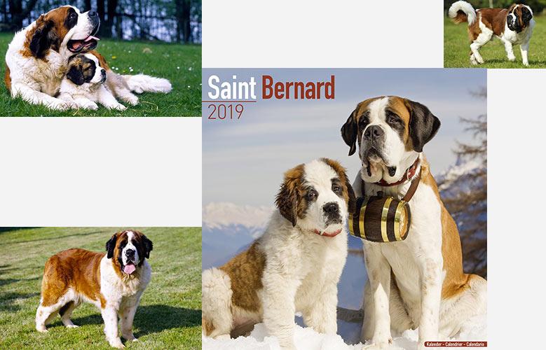 سینت برنارد سگ سوئیسی