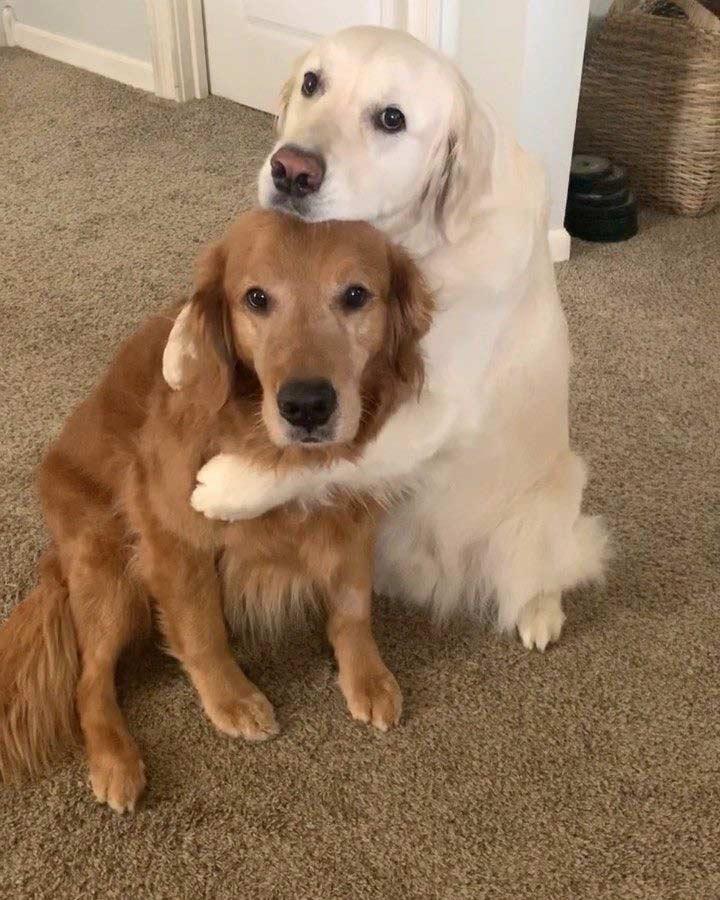 مراقبت از سگ گلدن رتریور