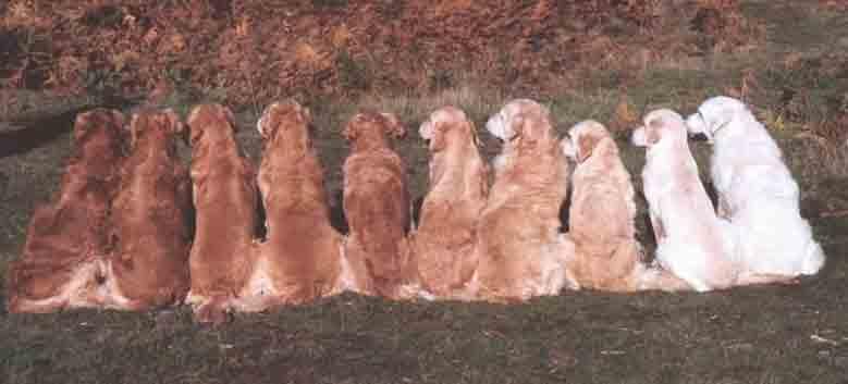 رنگ سگ گلدن رتیرور