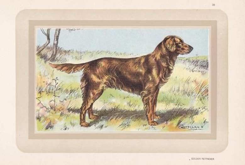 تاریخچه و اصالت سگ گلدن رتریور