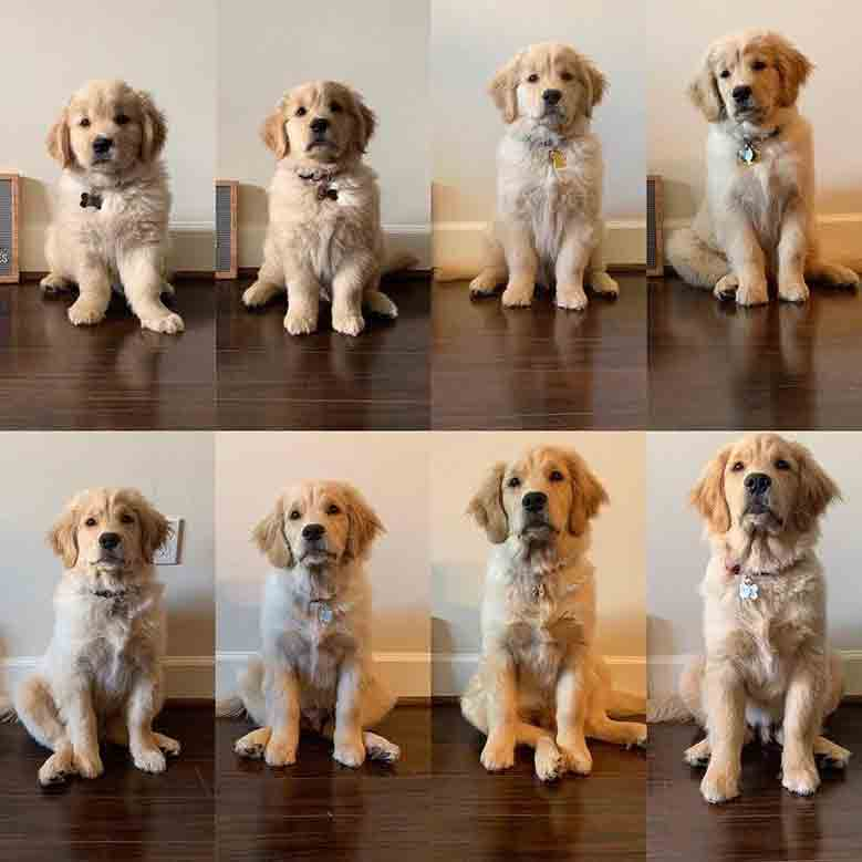 سایز سگ گلدن