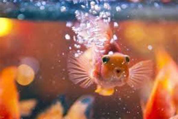 نگهداری ماهی عید
