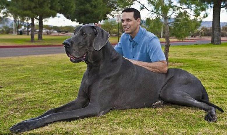 مراقبت و نگهداری سگ گریت دین