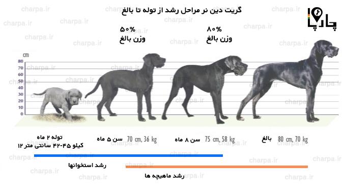 مراحل رشد سگ گریت دین