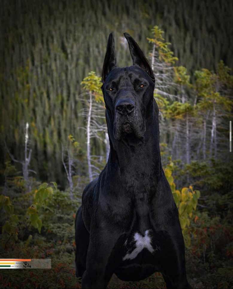 قدرت سگ گریت دین