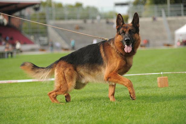 سگ ژرمن ورک