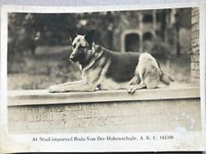 سگ ژرمن در آمریکا