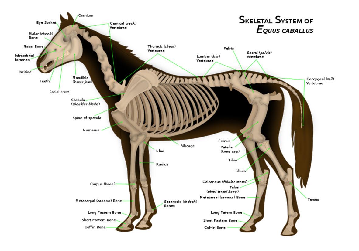 تحقیق در مورد اسب