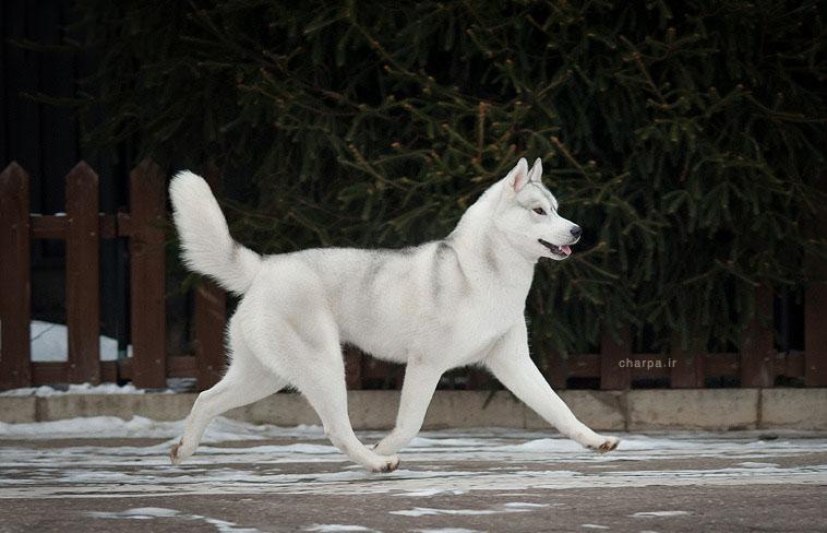 سگ هاسکی