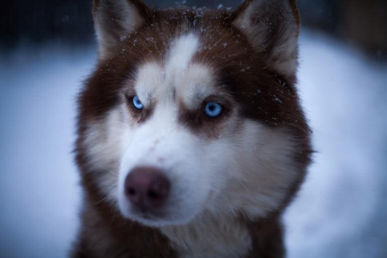 تاریخچه سگ هاسکی