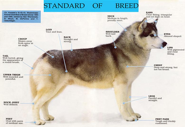اندازه سگ هاسکی