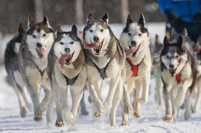 سگ هاسکی سیبرین
