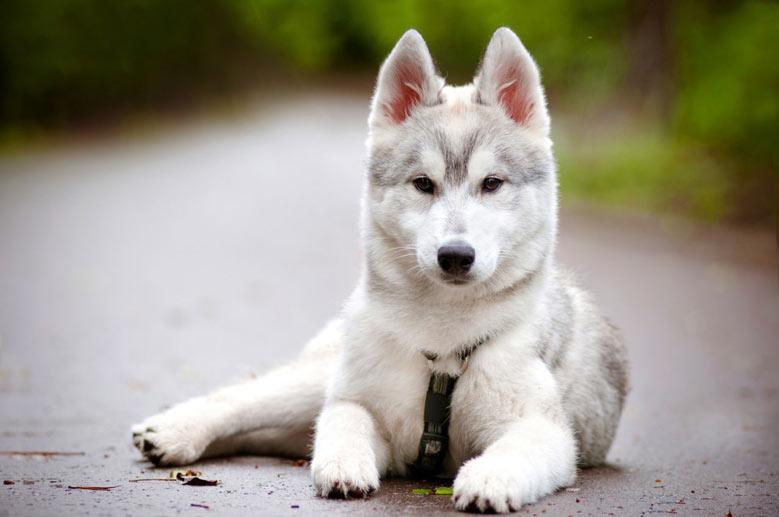 سلامت سگ هاسکی