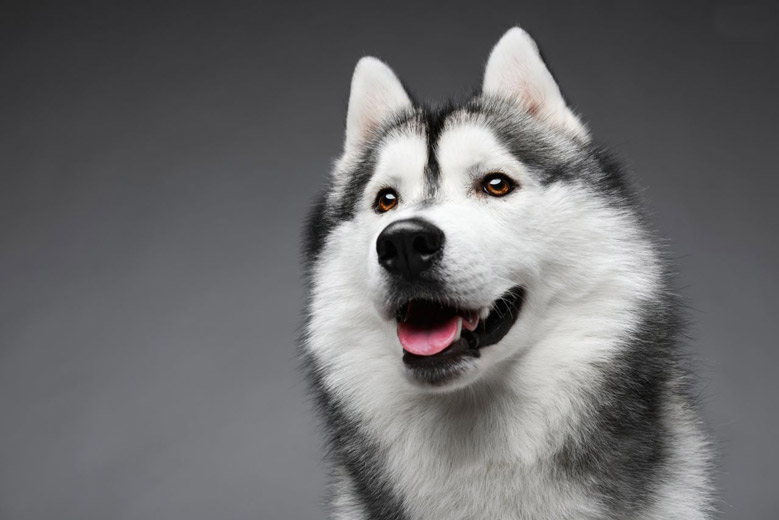 تربیت سگ هاسکی