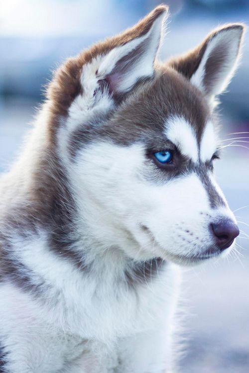 سگ هاسکی خوشگل