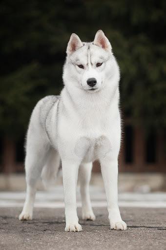 سگ هاسکی سفید نقره ای