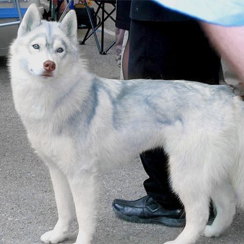 رنگ سگ هاسکی