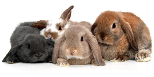 خرگوش های لوپ