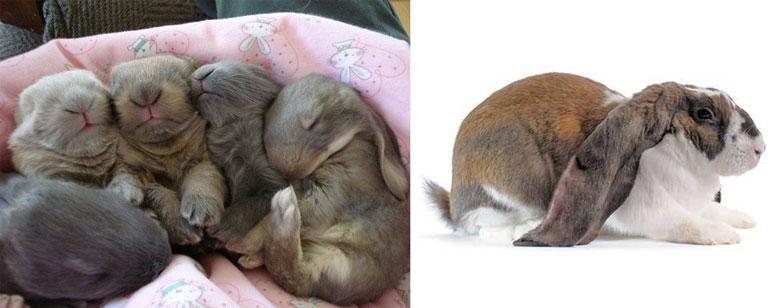 خرگوش لوپ انگیسی