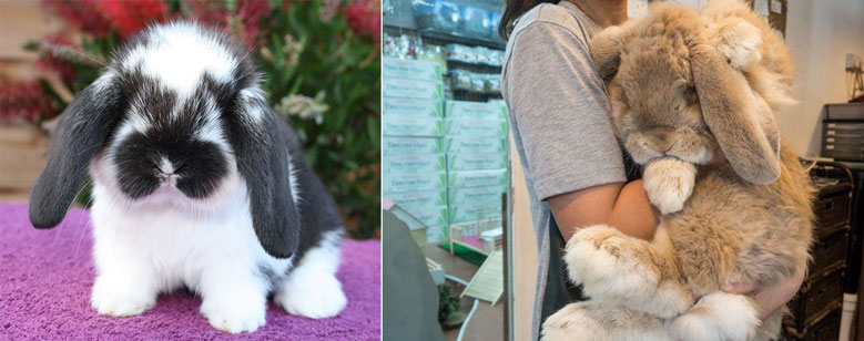 خرگوش لوپ فرانسوی