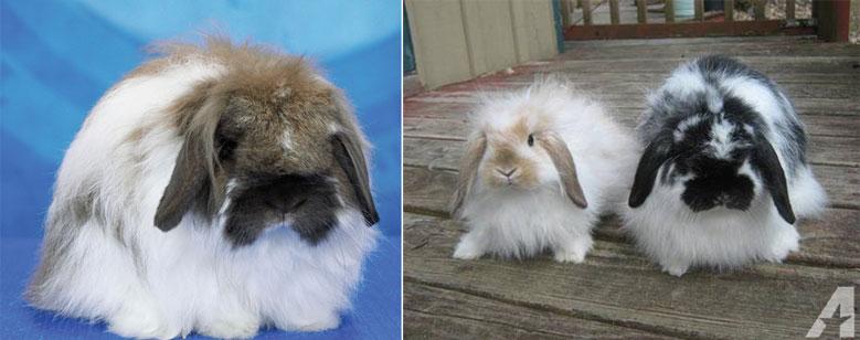 خرگوش لوپ فازی آمریکایی