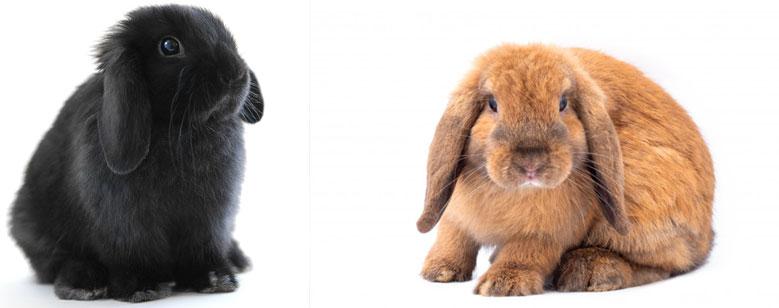 خرگوش لوپ هلندی