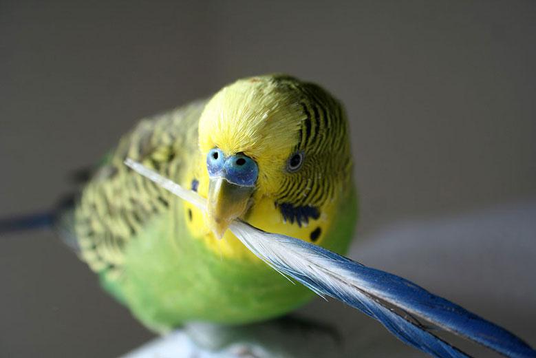 تغذیه هنگام ریزش پر در پرندگان