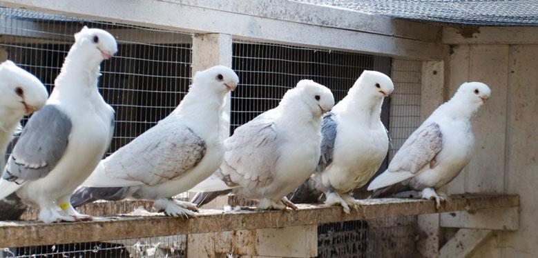 پر ریزی در پرندگان
