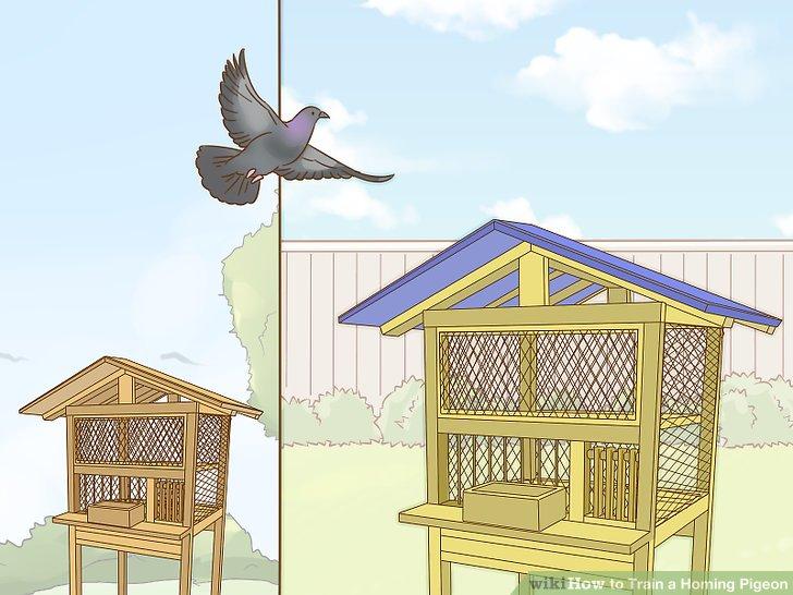 آموزش پر دادن کبوتر