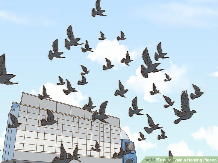 مسابقه کبوتر پرشی