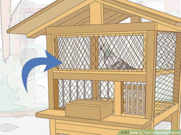 آموزش کبوتر