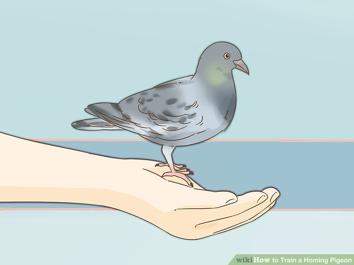 آموزش کبوتر مسابقه ای