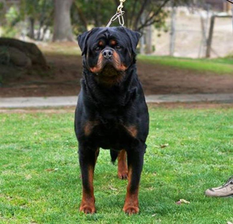 سگ روتوایلر رومی