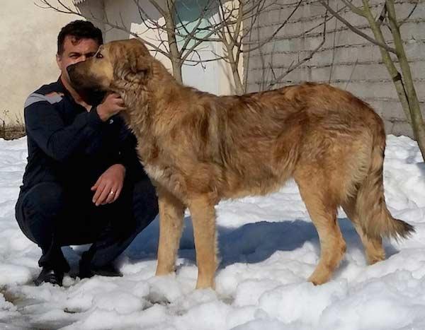 سگ سرابی مو بلند