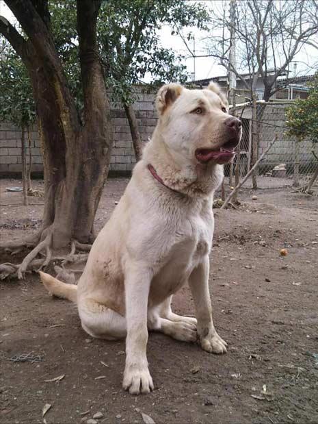 سگ سرابی جنگی